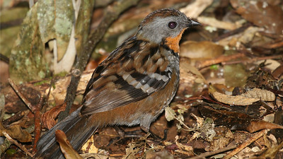 This gorgeous and remarkably cryptic forest-floor specialist is an Australian Logrunner, endemic to eastern Australia. The orange throat marks this as a female.  Photo by guide Chris Benesh.