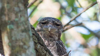 Guide Doug Gochfeld found himself in a stare-down contest with this Papuan Frogmouth.