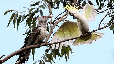 This dramatic scene of a Sulphur-crested Cockatoo protesting the presence of a Channel-billed Cuckoo was captured by participant Bill Byers.