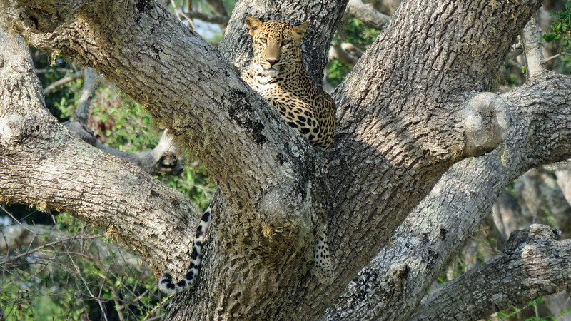 One of the truly unforgettable moments of the tour was watching this Leopard dozing in a tree. Photo by participant Merrill Lester.