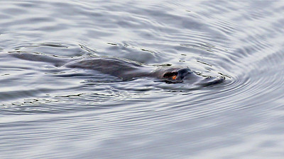 We were thrilled to get a good look at one of the strangest creatures in the world, a Platypus. Photo by participant Bill Byers.