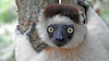 Verreaux's Sifaka is one of the larger lemurs. Photo by participant Sheila Vince.