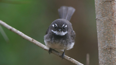 This Gray Fantail has quite the fierce look; we're thankful it's tiny! Photo by guide Cory Gregory.