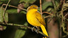 Guide Chris Benesh photographed this glowing Golden Bowerbird.