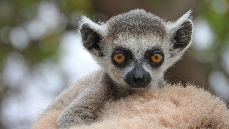A baby Ring-tailed Lemur atop its mother at Berenty. Photo by participant Sheila Vince.