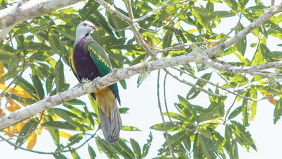 This paint-by-numbers wonder is a Wompoo Fruit-Dove.  Photo by guide Doug Gochfeld.