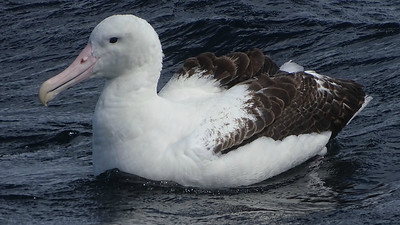 One of the many behemoths we encountered on our pelagic outing was this Royal Albatross. Photo by guide Dan Lane.