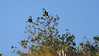 Guide Bret Whitney caught these Crested Black-Tyrants in flight display.