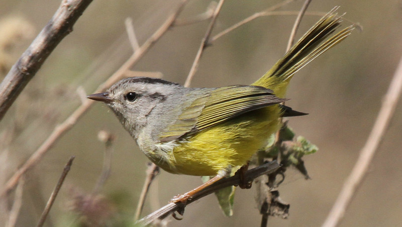 The Three-banded Warbler is confined to southwest Ecuador and northwest Peru. Photo by participant George Sims.