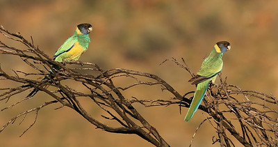 These handsome Port Lincoln Parrots are part of the Australian Ringneck complex of subspecies endemic to Australia. Photo by participant Bill Byers.