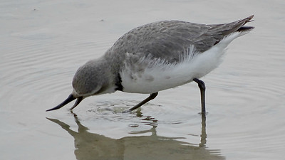 Wrybill is the only bird in the world with a laterally curved bill, and if you want to see it you have to go to New Zealand. Photo by guide Dan Lane.