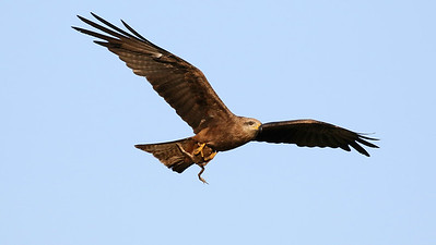 We had to wonder if this Whistling Kite knew what a toxic Cane Toad tastes like... Photo by participant Bill Byers.