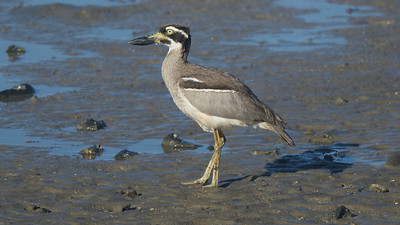 The dramatic Beach Thick-knee is a Near-Threatened species with a declining population. Photo by guide Cory Gregory.