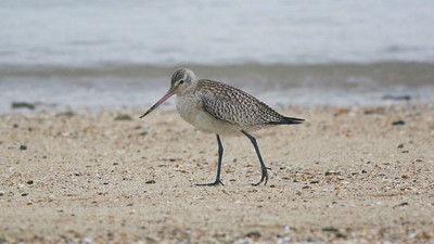 Australia is a fantastic place to study wintering shorebirds like this Bar-tailed Godwit. Photo by guide Cory Gregory.