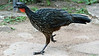 Participant Bill Parkin was ready when this Dusky-legged Guan ran right by.