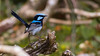 Wow, what an outstanding image of a Superb Fairywren! Photo by guide Doug Gochfeld.