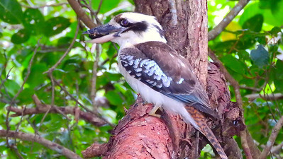 Turtle is on the menu for this Laughing Kookaburra.  Photo by participant Chuck Holliday.