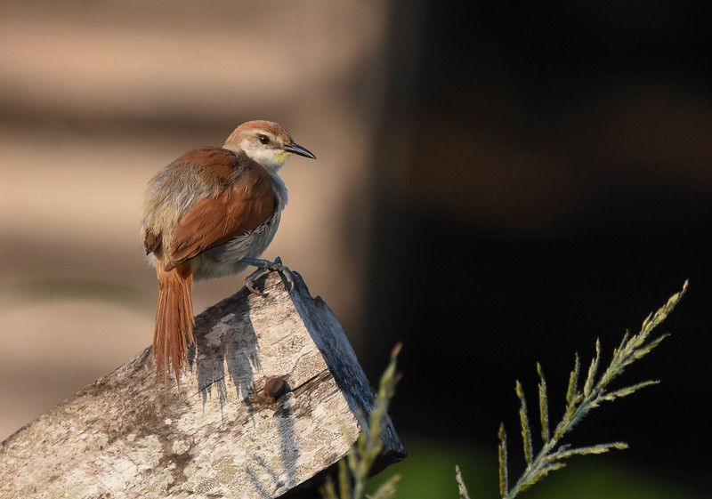 The sometimes difficult to see lemony patch below the bill is visible in this image of a Yellow-chinned Spinetail. (Photo by participant Becky Hansen)