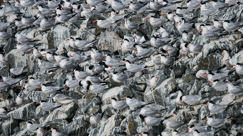 How fun would this be as wallpaper?! Participant Karen Chiasson shared this image of Elegant Terns.