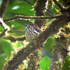 Down the road a ways, another puffbird (this time a tiny one): this Lanceolated Monklet called, flew in overhead, and also began to puff! (Photo by guide Rose Ann Rowlett)
