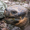 As famous as the finches, the Giant Tortoises of the Galapagos are some of the longest-living creatures in the world. This one is likely more than a century old but apparently still enjoys a good joke when it hears it. (Photo by guide Eric Hynes)