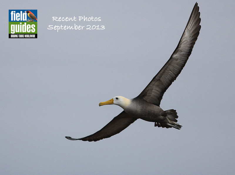 The dramatic wingspan of this Waved Albatross from the Galapagos kicks off our September Recent Photos gallery. Guide Eric Hynes shared a collection of images from the second of our three tours there.