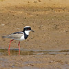 The striking plumage of a Pied Lapwing virtually leaps off the mud... (Photo by participant Debbie Hilaire)