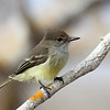 The Galapagos Flycatcher is a dainty Myiarchus and likely the most approachable. (Photo by guide Eric Hynes)