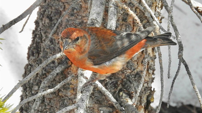 We get a nice dose of boreal passerines on the Colorado tours as well, including Red Crossbill. Photo by participant Kurt Schwarz.