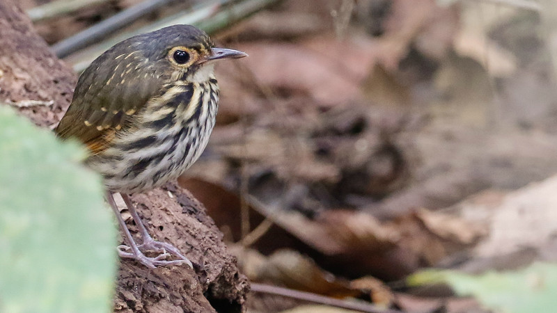 Streak-chested Antpitta is the official name, but it's easy to see why Spectacled has been a good alternate. Photo by participant Dan Ellison.