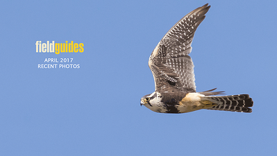 We begin this month's gallery with our Texas's Big Bend & Hill Country tour, where this Aplomado Falcon at Lake Balmorhea was an out-of-place surprise. Photo by guide Doug Gochfeld.