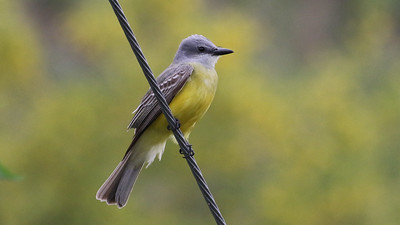 Still in Texas, let's check out some images from our Spring in South Texas tour. Here's a Couch's Kingbird from guide Chris Benesh.