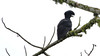 No mistaking that fantastic and much-sought profile! Long-wattled Umbrellabird by participant Kathy Brown.