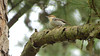 Brown-headed Nuthatch is one of the characteristic piney woods species we see. Photo by guide Micah Riegner.