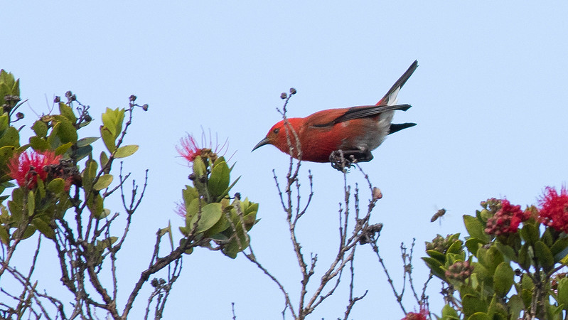 Let's jump way westward, but still in the US: Hawaii! Here's an endemic Apapane on Kauai, photographed by guide Doug Gochfeld.