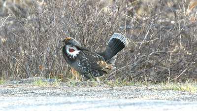 "And here's one of those ""Colorado Grouse"" -- a male Dusky Grouse displaying by the roadside for the group. Photo by participant Jordan Roderick."