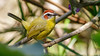 Another lovely portrait, this one of Rufous-capped Warbler by participant Dan Ellison.