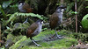 Not one, not two, but three Jocotoco Antpittas in the same view! Photo by participant Kathy Brown.