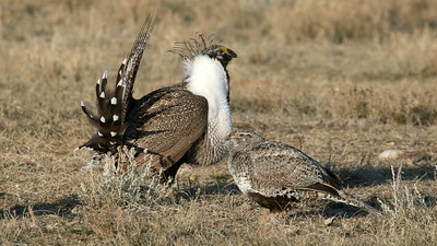 He's certainly trying; we don't know if she's impressed. Greater Sage-Grouse by participant Jordan Roderick.