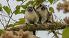 Panama is home to a very cool assemblage of mammals as well as birds, among them these Geoffroy's Tamarins. Photo by participant Bruce Palmer.