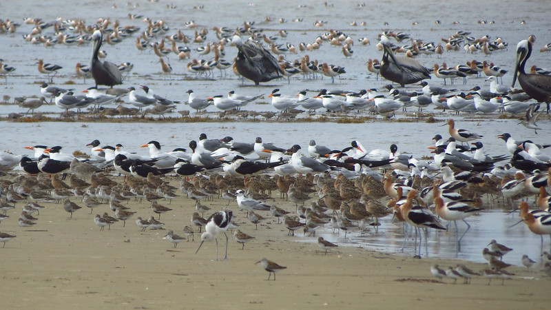 Avocets, gulls, terns, pelicans, skimmers, dowitchers, peeps -- everyone's in this mix along the Texas coast. Photo by guide Micah Riegner.
