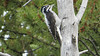 Did you count the toes? Yes, it's American Three-toed Woodpecker, a lifer for many on the tour! Photo by participant Terry Harrison.