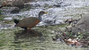 Did you know Gray-necked Wood-Rail is no more? It's been split, and birds from Costa Rica southward are Gray-cowled, like this one by participant Dan Ellison.