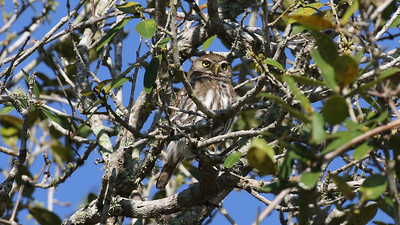 Ferruginous Pygmy-Owl is always a target on this trip, and success we did have! Photo by guide Chris Benesh.