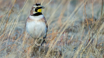 A fine portrait of a Horned Lark by participant Herb Fechter.