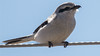 Northern Shrike, up close and personal, photographed by participant Herb Fechter.