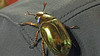 There are various impressive non-avian things to distract us in Costa Rica, too, including this Golden Scarab beetle. Photo by participant Nancy Herbert.