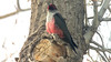One of the more unusual of its kin: Lewis's Woodpecker. Photo by guide Cory Gregory.