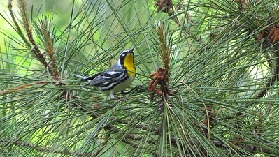 How could anyone see a Yellow-throated Warbler and not want to become a birder? Photo by guide Micah Riegner.