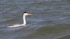 The very white face and orangey bill sets this off as a Clark's Grebe at Lake Balmorhea. Photo by guide Doug Gochfeld.
